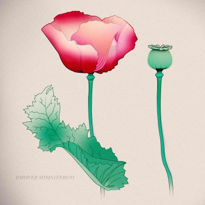 poppy-papaver-somniferum by Henry Ryder